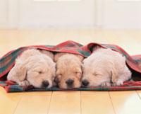 並んで寝る3匹のゴールデンレトリバーの子犬