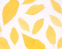 黄色い落ち葉