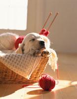 編み物カゴの中で寝る子犬(ラブラドール) 02022045243| 写真素材・ストックフォト・画像・イラスト素材|アマナイメージズ
