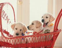 乳母車に乗る3匹の子犬(ラブラドールレトリバー) 02022045972| 写真素材・ストックフォト・画像・イラスト素材|アマナイメージズ