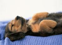 仰向けに寝る子犬(ミニチュアダックスフンド)