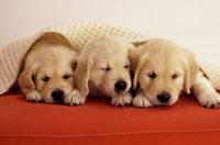 赤いソファの上の4匹のゴールデンレトリバーの子犬