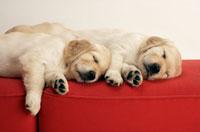 並んで眠るゴールデンレトリバーの子犬