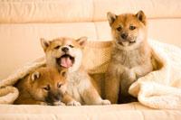 ソファに座る柴犬