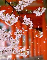 桜 02022346035| 写真素材・ストックフォト・画像・イラスト素材|アマナイメージズ