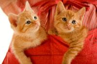 エプロンのポケットに入る2匹の猫