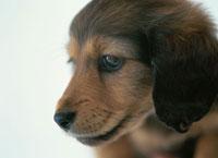 ミニチュアダックスフンドの子犬 02022346308| 写真素材・ストックフォト・画像・イラスト素材|アマナイメージズ