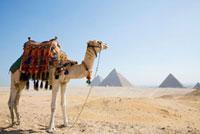 ギザのピラミッドとラクダ