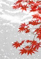 紅葉にかかる雪の和風イメージ 02022348207| 写真素材・ストックフォト・画像・イラスト素材|アマナイメージズ
