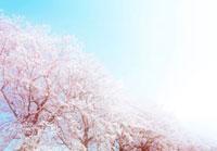 ハイキーな桜並木