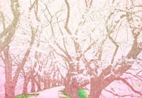 ピンク色の桜の風景