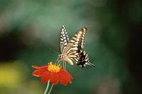 アゲハチョウ(花はヒャクニチソウ) 8月