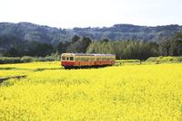 小湊鉄道,ナノハナ畑