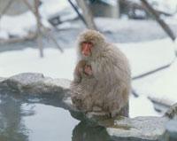 温泉に入った地獄谷の猿の親子 山ノ内町 長野県