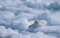 羅臼沖の流氷の上のゴマフアザラシの赤ちゃん