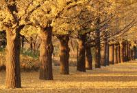 黄色に色づく銀杏並木 11月 立川市 東京都