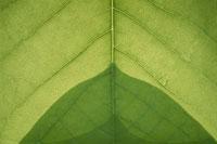 葉のアップ