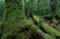 コケの生えた原生林 7月 八ヶ岳 長野県