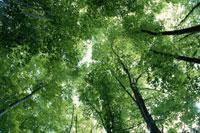 若葉の茂るブナの木々 5月 裏磐梯 福島県
