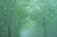 霧のブナ林 5月