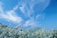 秋空と白い花 9月 山中湖村 山梨県