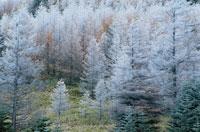 八ヶ岳山腹の霧氷林 12月 長野県