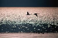 白鳥と猪苗代湖     福島県 2月