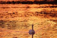 白鳥とオレンジ色に輝く古徳沼    茨城県 2月