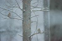 鳥(シメ)と降りしきる雪 2月 八ヶ岳山麓 長野県