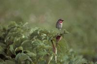 植物の上にとまる鳥(ノゴマ) 7月 霧多市 北海道