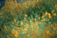 ハルシヤギクの花畑 7月 山中湖村 山梨県