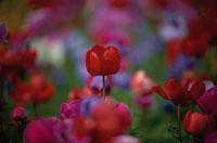 アネモネの花 4月 調布市 東京都