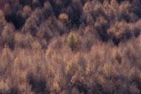 晩秋のカラマツ林の風景 10月 八ヶ岳山麓 長野県