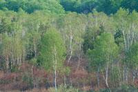 新緑の白樺林 駒上湿原 福島県
