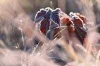 霜の葉  11月