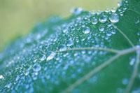 葉についた水滴 6月 高根町 山梨県