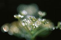 植物についた水滴 6月 高根町 山梨県