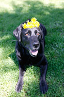 芝生に寝そべり頭上に花を載せた犬(ラブラドールレトリバー)