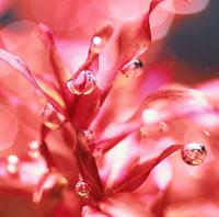ロターラマクランドラ(水草)の光合成(赤) 02131010005| 写真素材・ストックフォト・画像・イラスト素材|アマナイメージズ