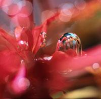 ロターラマクランドラ(水草)の光合成(赤) 02131010006| 写真素材・ストックフォト・画像・イラスト素材|アマナイメージズ