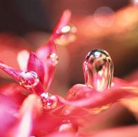 ロターラマクランドラ(水草)の光合成(赤) 02131010007| 写真素材・ストックフォト・画像・イラスト素材|アマナイメージズ