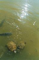 池の鯉と亀