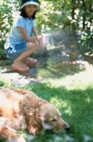 水を浴びる犬(ゴールデンレトリバー)