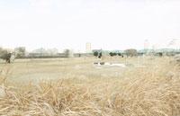 冬の荒川河川敷のゴルフ場のススキ
