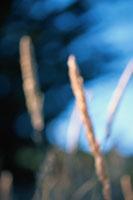 草のアップ カリフォルニア州  アメリカ 02188000022| 写真素材・ストックフォト・画像・イラスト素材|アマナイメージズ
