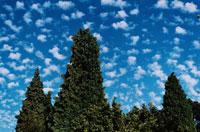 ウエスタンレッドセダーと雲 ワシントン州 アメリカ