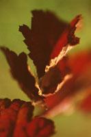 ブラックベリー 02188000226| 写真素材・ストックフォト・画像・イラスト素材|アマナイメージズ
