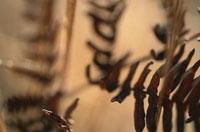 蕨 02188000234| 写真素材・ストックフォト・画像・イラスト素材|アマナイメージズ