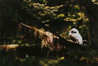 木に止まるアメリカフクロウ 北西オレゴン アメリカ 02188000383| 写真素材・ストックフォト・画像・イラスト素材|アマナイメージズ