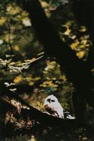 木に止まるアメリカフクロウ 北西オレゴン アメリカ 02188000384| 写真素材・ストックフォト・画像・イラスト素材|アマナイメージズ